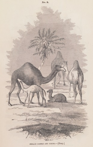 Baby camels, as illustrated in the report. (Image by University of Virginia Digitization Services.)