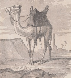 "A camel as illustrated in the 1857 ""Report of the Secretary of War...""(UC 350 . U5 1857. Bequest of Paul Mellon. Image by University of Virginia Library Digitization Services.)"