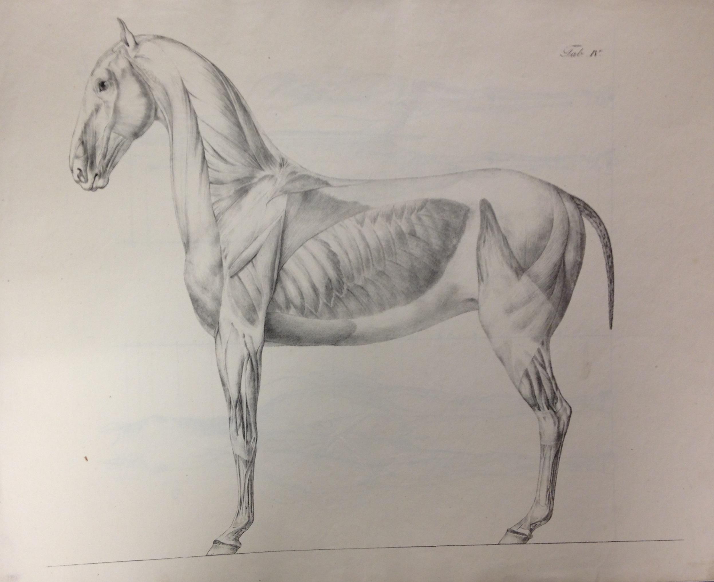 A lithographed plate from Konrad Ludwig Schwab. Anatomische Abbildungen des Pferdekörpers (Munich, 1820 ) (SF765 .S45 1820)