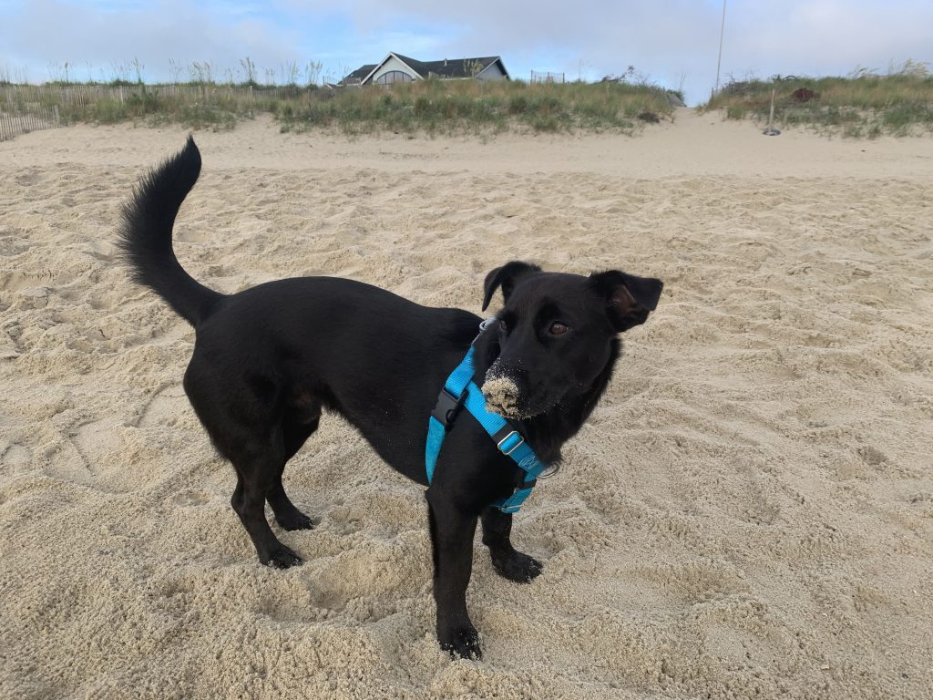 Stacey's dog Bogie at the beach